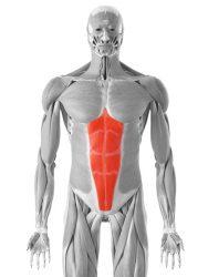ravni trbušni mišić
