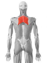 rombasti mišić