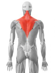 trapezni mišić