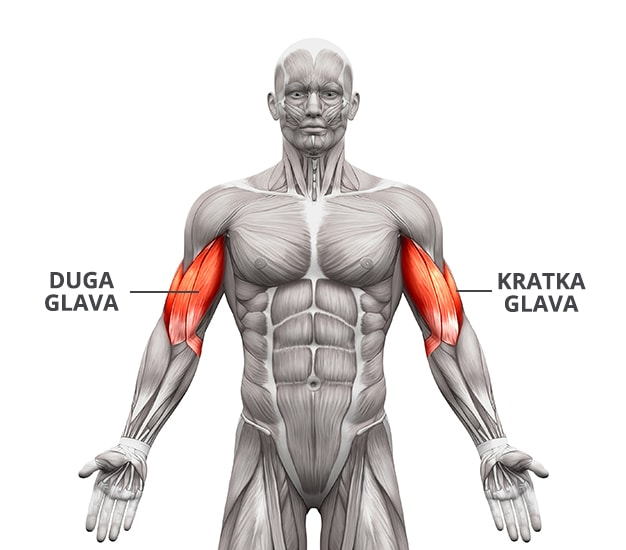 Mišić biceps