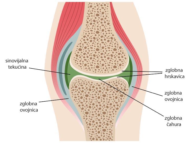 osnovni dijelovi zgloba